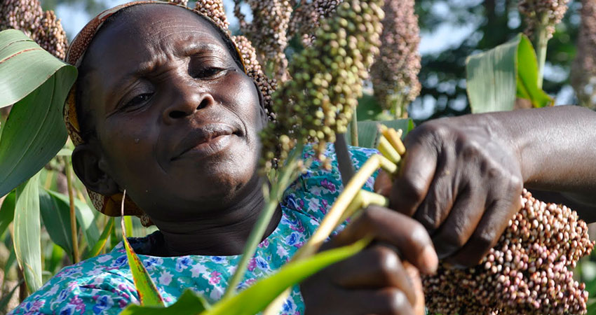 Sorghum farmers struggle to satisfy increased demand